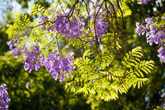 Sunlight filtering through Jacaranda flowers and leaves Stock Images