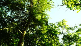 Sunlight filtering through lush tall forest. stock video footage