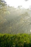 Sunlight. Filtering through the morning fog Stock Photography