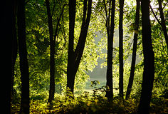 Sunlight filtering through the trees in woodland stock images