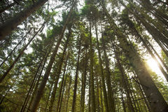 Sunlight in the fir tree forest Royalty Free Stock Image