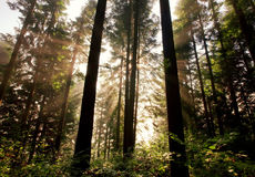 Sunlight through fir trees Stock Image