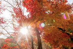 Sunlight flare with red maple leaves. Color of  Autumn in Japan Royalty Free Stock Photos