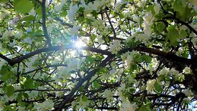 Sunlight through the flowering branches of apple trees stock video footage
