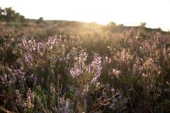 Sunlight on flowering heath stock images