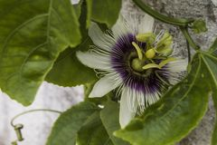 Passiflora on nature. Sunlight, flowers, a beautiful structure going inside the sea. A wonderful view of a summer day. South american flower macro shoot Stock Image