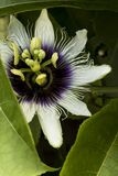 Passiflora on nature. Sunlight, flowers, a beautiful structure going inside the sea. A wonderful view of a summer day. South american flower macro shoot Stock Photos