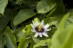 South american flower macro shoot. Beautiful passiflora with shades of white and purple. Royalty Free Stock Photo
