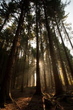Sunlight through Forest Royalty Free Stock Images