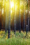 Sunlight in the forest. Royalty Free Stock Photos