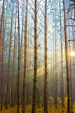Sunlight in forest. Lightly fog. Forest look as magic Stock Image