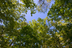 Sunlight Through Forest Canopy Royalty Free Stock Image