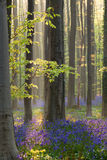 Sunlight in forest with flowers bluebells Stock Images