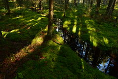 Sunlight on the forest ground cover of moss forest on the banks of the creek Royalty Free Stock Images