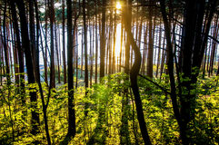 Sunlight in the forest Royalty Free Stock Images