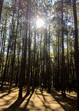 Sunlight through Forest, Pine forest stock photo