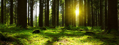 Sunlight in Forest. Stock Images