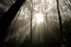 Sunlight Through The Forest Trees Royalty Free Stock Image