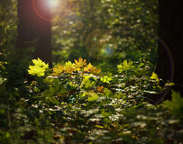 Sunlight in forest undergrowth Stock Images