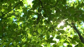 Sunlight And Fresh Green Tree Leaves. Sunbeams in the forest