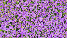 Sunlight glade with a lot of small purple Aubrieta flowers Stock Photos