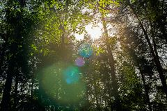 Sunlight and glare through trees. In the forest Stock Photo