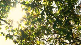 Sunlight glinting through the leaves of a tree in Fall or Autumn. 4K video clip of sunlight glinting through the leaves of a tree in Fall or Autumn stock footage