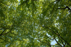 Sunlight goes through green leaves Royalty Free Stock Photography