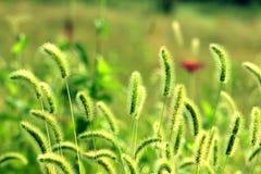 Sunlight green bristlegrass Royalty Free Stock Photos