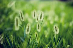 Sunlight green bristlegrass. Flowers park, flower gardening, on any account is strewn at random have the green bristlegrass under the sunlight, outline, or with Stock Photo