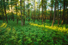 Sunlight In Green Coniferous Forest, Russian Stock Photos