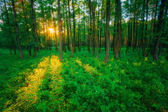 Sunlight In Green Coniferous Forest, Russian Stock Photo