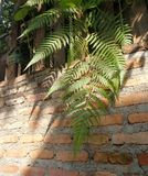 Sunlight through green fern on old red brick wall , natural background Stock Photos
