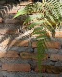 Sunlight through green fern on old red brick wall , natural background Royalty Free Stock Photos