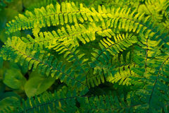 Green Ferns in Shade Garden. New growth on green ferns are illuminated by the sun as it peaks through the shade garden Royalty Free Stock Image