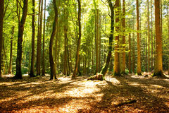 Sunlight in the green forest. Beautiful morning scene in the forest with sun rays and long shadows royalty free stock images