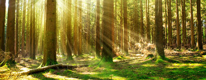 Sunlight in the green forest. Beautiful morning scene in the forest with sun rays and long shadows royalty free stock photography