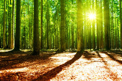 Sunlight in the green forest. Beautiful morning scene in the forest with sun rays and long shadows stock photos