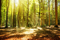 Sunlight in the green forest. Beautiful morning scene in the forest with sun rays and long shadows stock photo