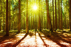Sunlight in the green forest. Beautiful morning scene in the forest with sun rays and long shadows royalty free stock photo