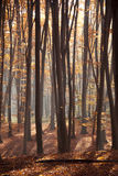 Sunlight in the green forest, red forest. Autumn forest trees. nature green wood sunlight backgrounds royalty free stock image