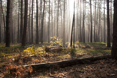 Sunlight in the green forest, spring time. Autumn forest trees. nature green wood sunlight backgrounds stock photography