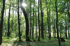 Sunlight in the green forest, spring time. Ukraine stock photos