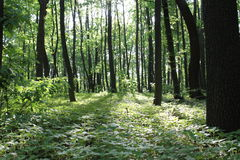 Sunlight in the green forest, spring time. Ukraine stock photography