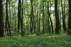 Sunlight in the green forest, spring time. Ukraine stock image
