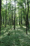 Sunlight in the green forest, spring time. Ukraine stock images