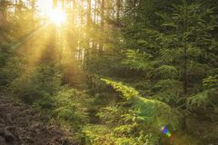 Sunlight in green forest at sunrise. Landscape of summer forest with warm sunbeams through trees. Natural scene of woodland in the morning royalty free stock photo