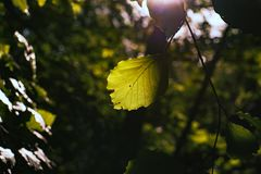 Sunlight on green leaves with the first autumn discoloration stock images