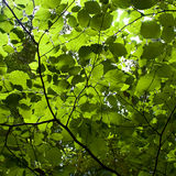 Sunlight Through Green Leaves Stock Photography