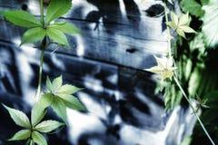 Sunlight green leaves liana wood wall Royalty Free Stock Image